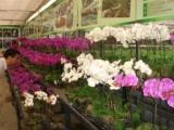 バイオ技術で台湾企業が蘭を栽培