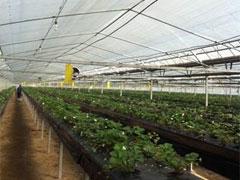 いちご栽培ハウス。長くて向こう側にいる人が小さい・・・