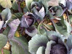 下:紫キャベツ 無農薬,化学肥料不使用。作物に勢いがある。レタスはその場でちぎって試食。甘くてレタス特有の苦みがない。