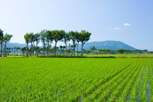 初夏的稻田